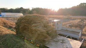 自然薯の藁
